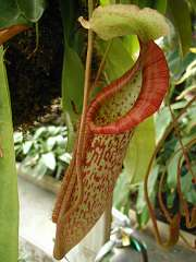 Pitcher plant (Nepenthaceae) ( Nepenthes ) Photo: Cheryl Hearty
