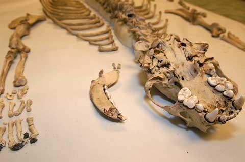 Otter Skeleten