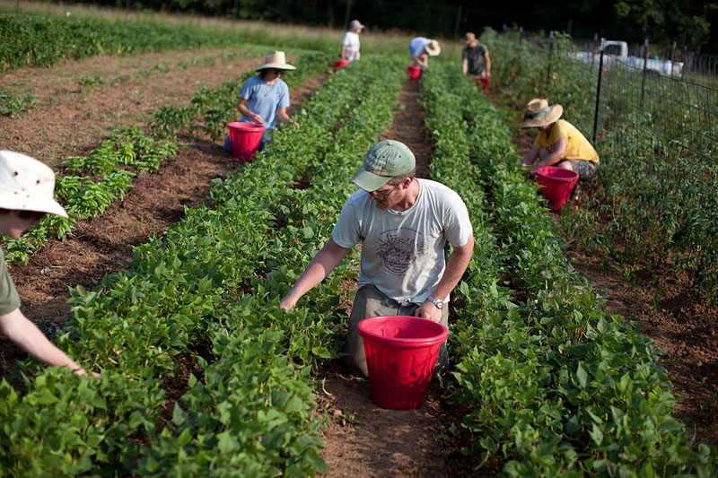 CSA members help harvest Stoney Lonesome's crops. Harvest days can be hectic <em>and</em> fun, Elliott says, adding that farming is one of the few situations in which he can work and have a great conversation at the same time.