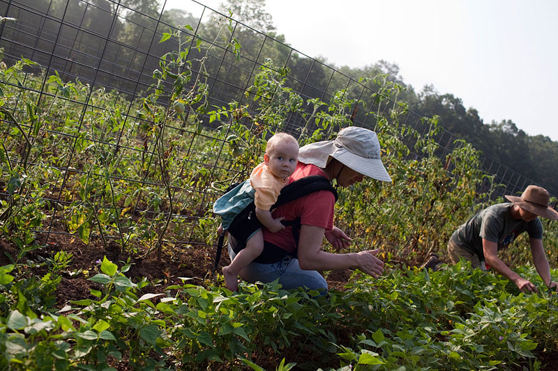 Mandelbaum Elliot joins in the harvesting and son Aryeh comes along for the ride.