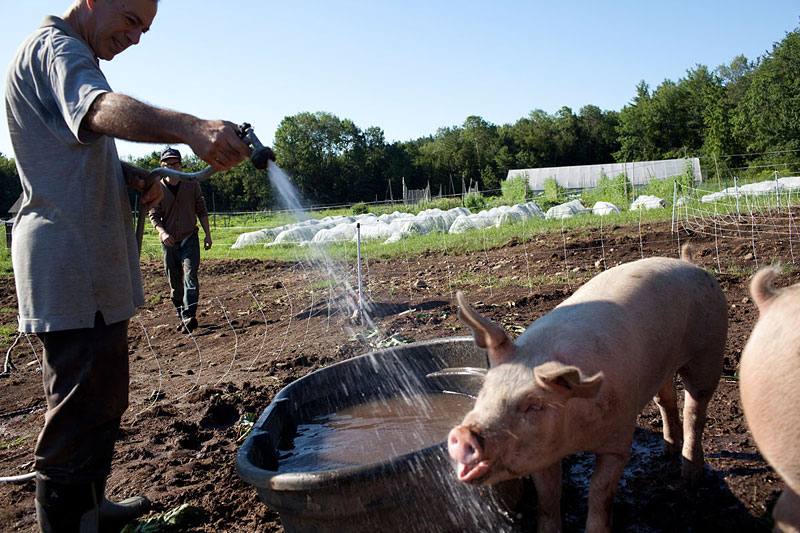 Vassar alumnus Jim Heffron '74, who has lived in the Nubanusit community for more almost three years, often takes a shift on the farm. Here, he hoses down a pig that enjoys taking a sip in the middle of its bath.