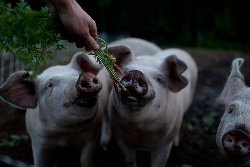 Horner can't resist feeding the pigs treats from the garden.