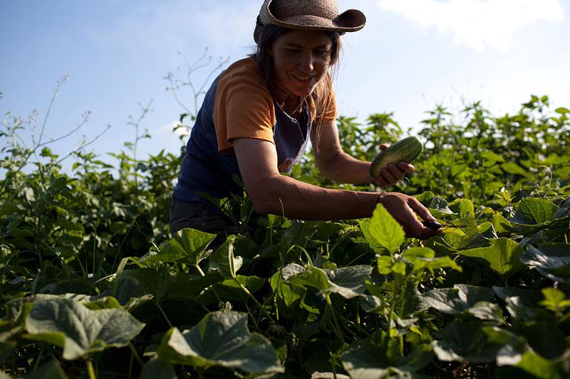Latzer harvests cucumbers.